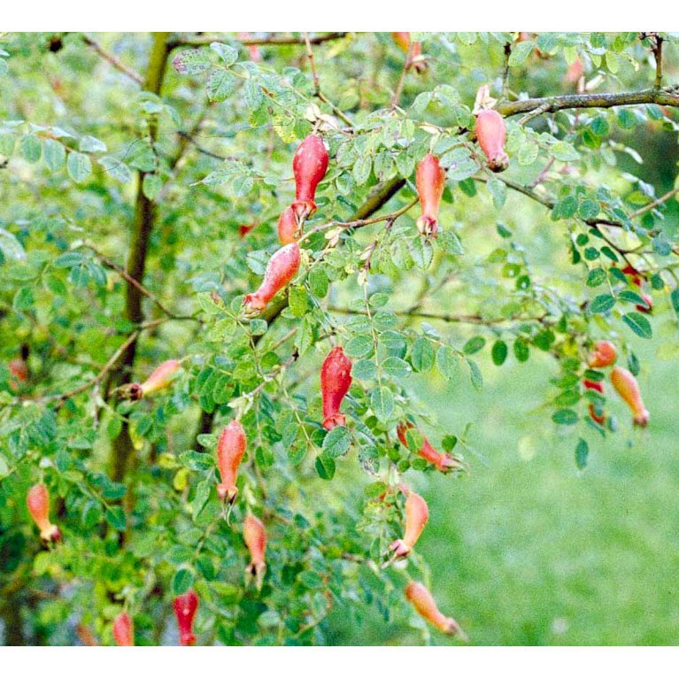 Mandarinrose