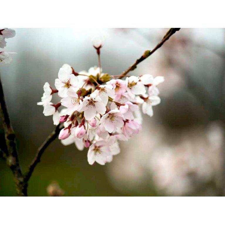 Yoshino-kirsebær