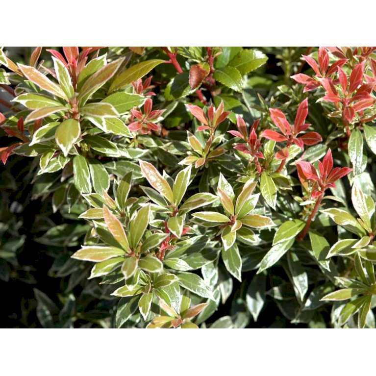 Pieris 'Little Heath'