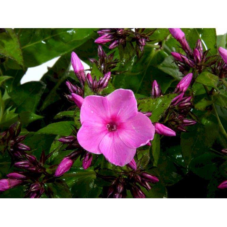 Høstfloks 'Junior Bouquet'