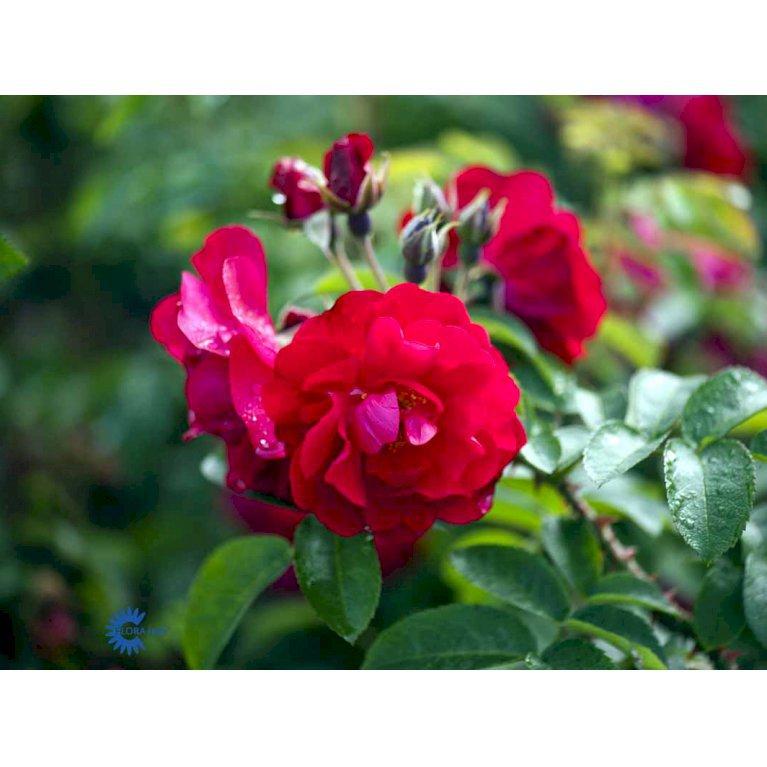Rynket rose 'Hansaland'
