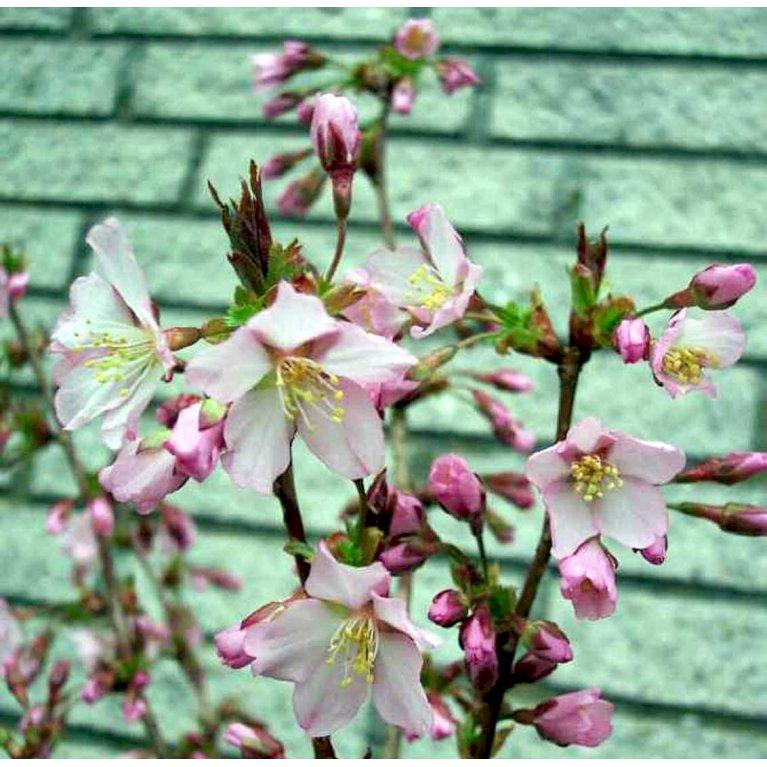 Japansk bjergkirsebær 'Ruby'