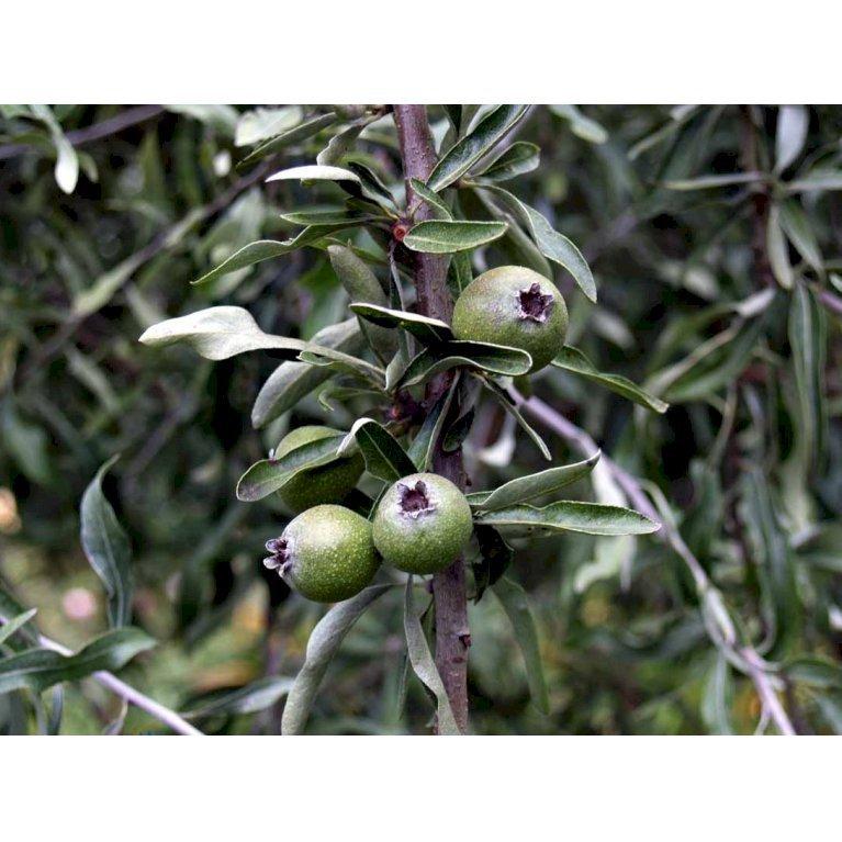 Pilebladet pære