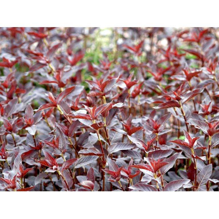Rødbladet Pimpernel