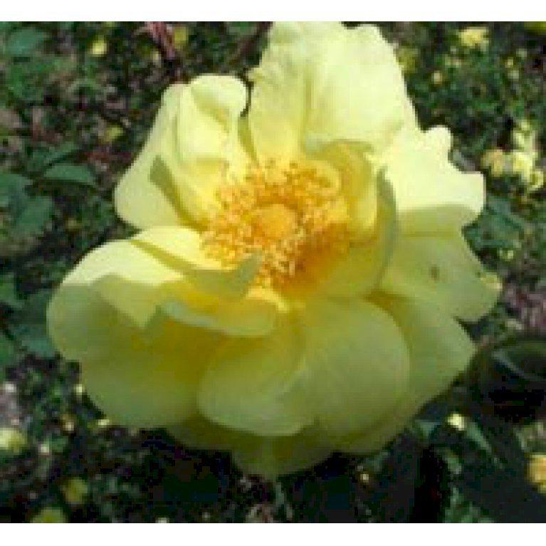 Buskrose 'Harrisons Yellow'