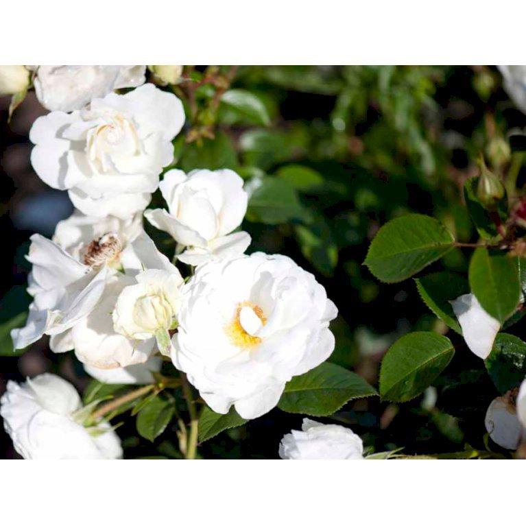 Rynket rose 'Weisse Wolke'