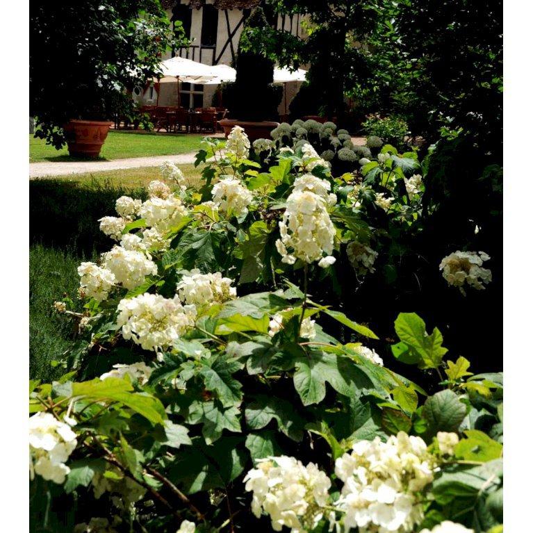 Egebladet Hortensia