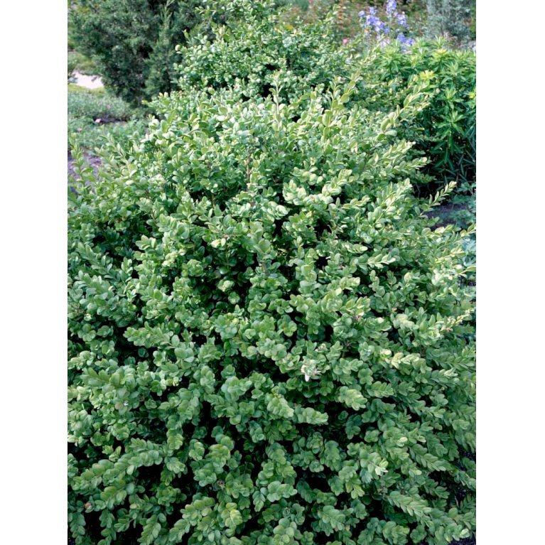 Buksbom 'Rotundifolia' til hæk
