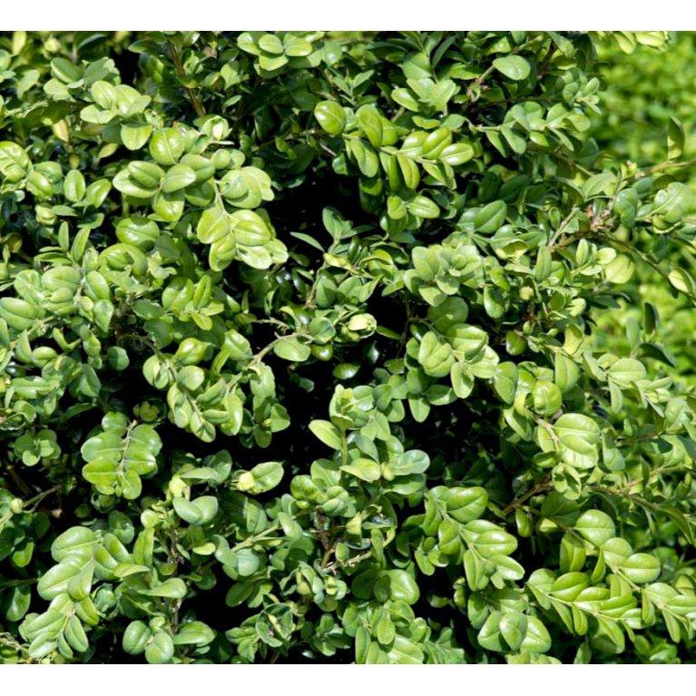 Buksbom 'Rotundifolia'
