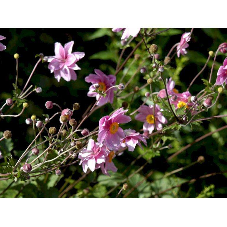 Høstanemone 'Robustissima'