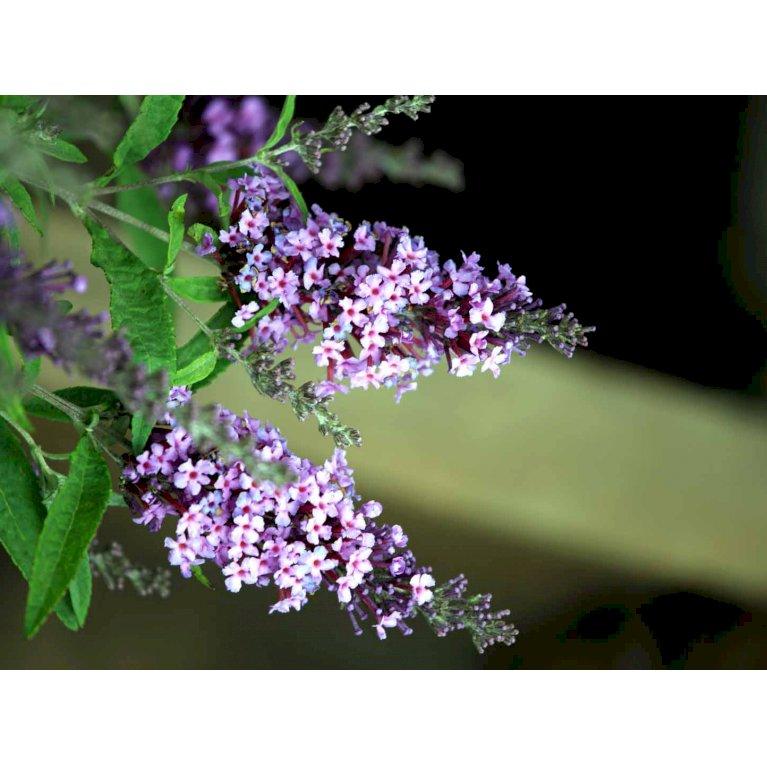 Sommerfuglebusk Buzz 'Violet'