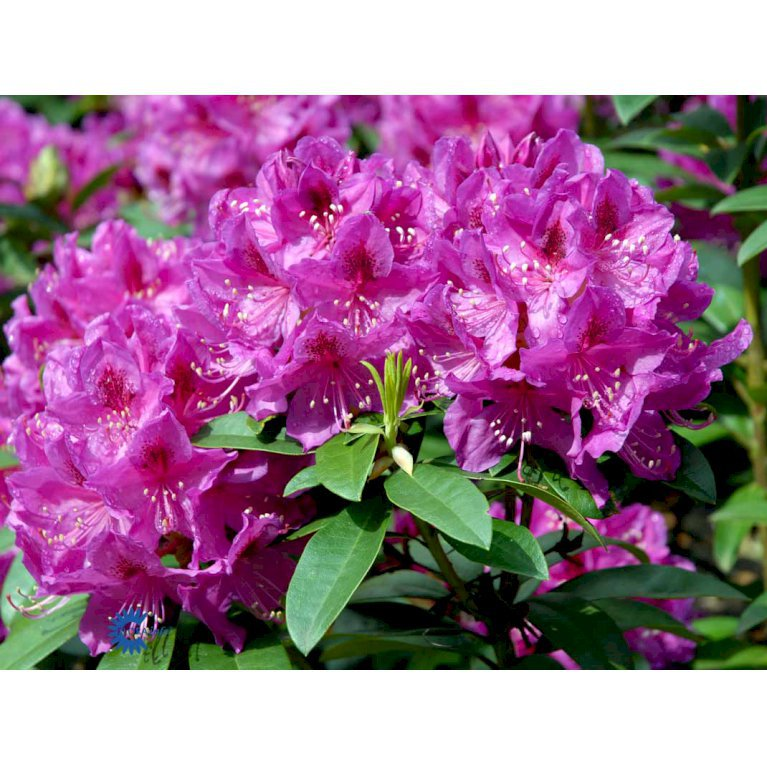 Rododendron 'Anah Kruschke'