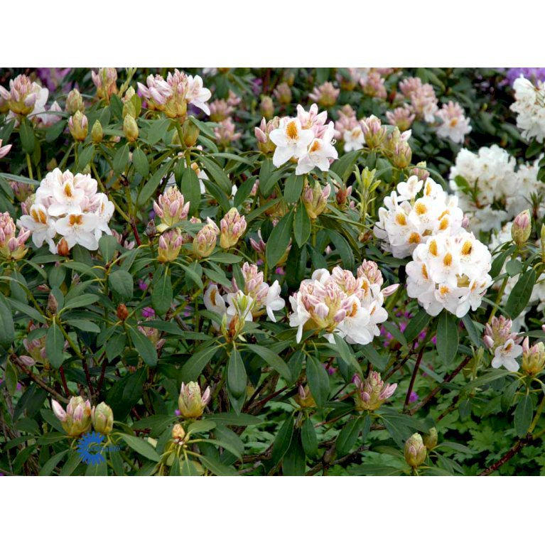 RHODODENDRON 'MRS ANTHONY WATERER'