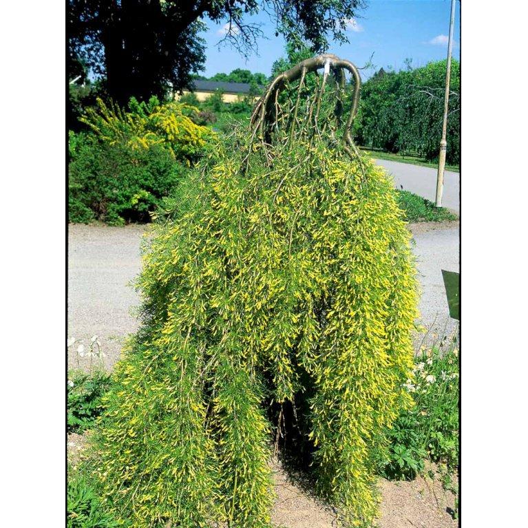 Fligetbladet Ærtetræ