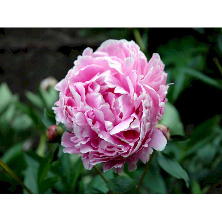 Silkepæon 'Sarah Bernhard'