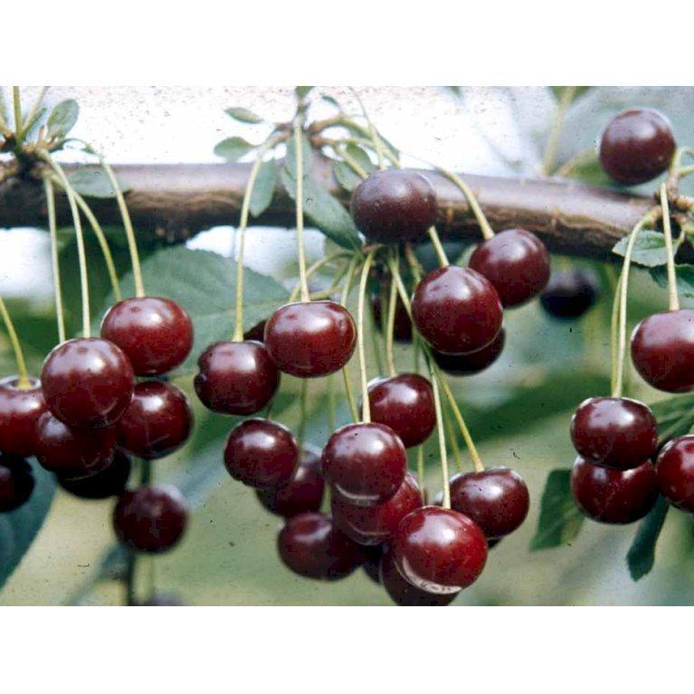 Stevnsbær (kirsebær, sure) - Selvbestøvende