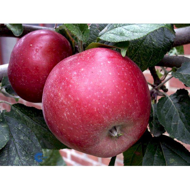 ÆBLE 'AMOROSA' MM106