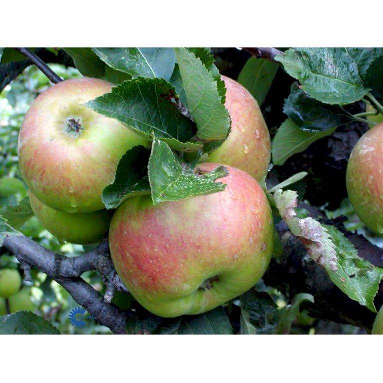 ÆBLE 'BRAMLEY'