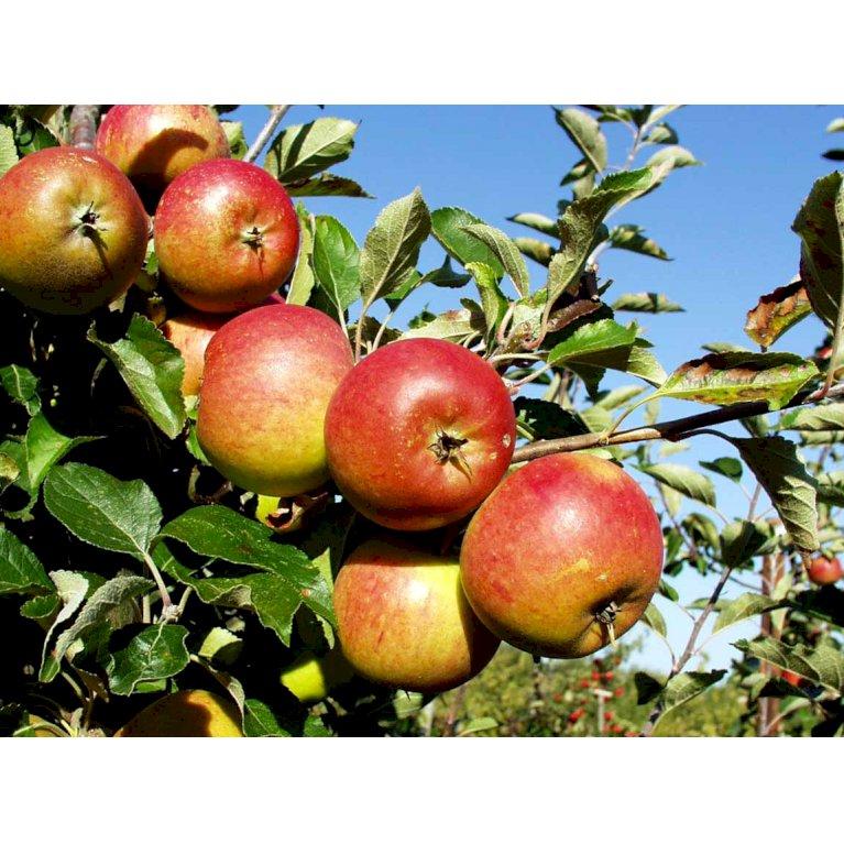 Æble 'Cox Orange'