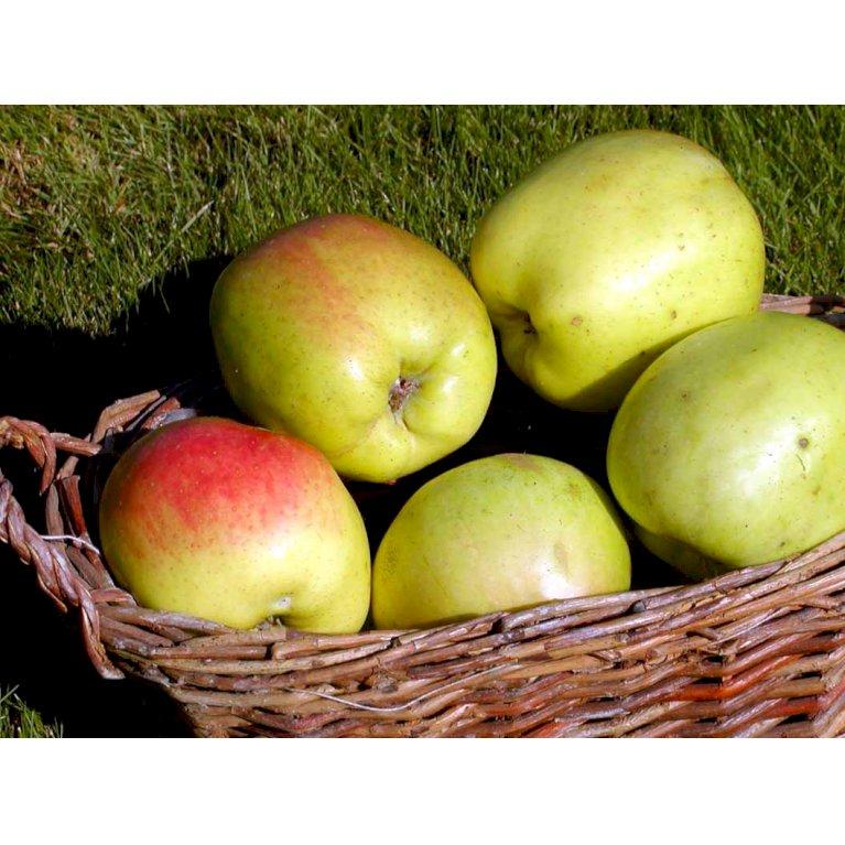 Æble 'Filippa'