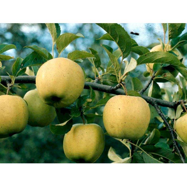 Æble 'Golden Delicious'