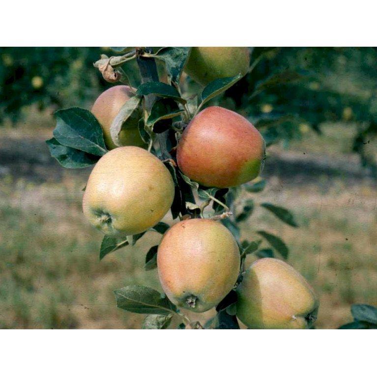 Æble 'Guldborg'