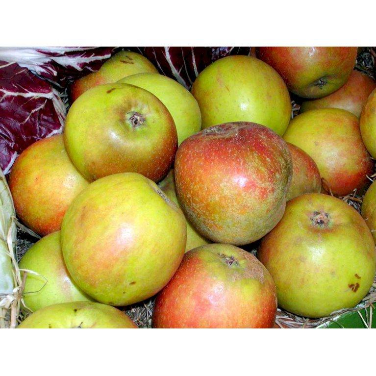 Æble 'Holsteiner Cox'