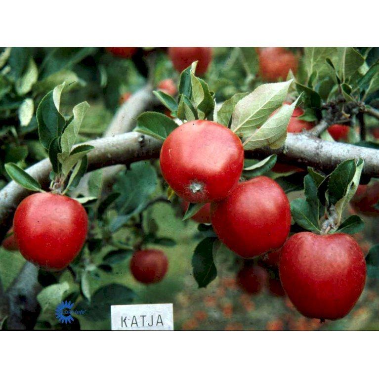 ÆBLE 'KATJA BALSGÅRD'