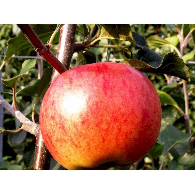 Æble 'Rubinola'