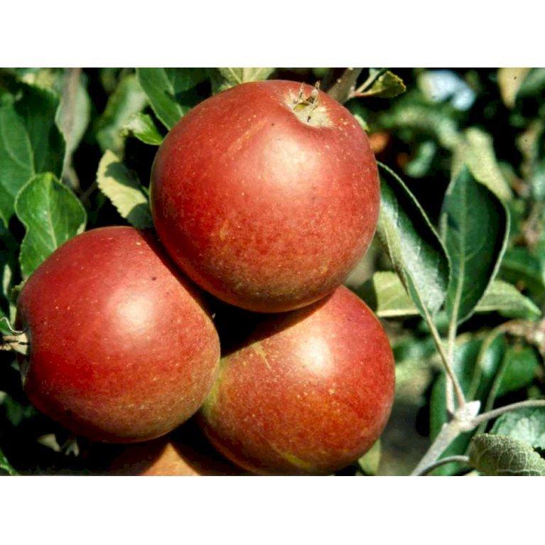 Æble 'Rød Cox Orange'
