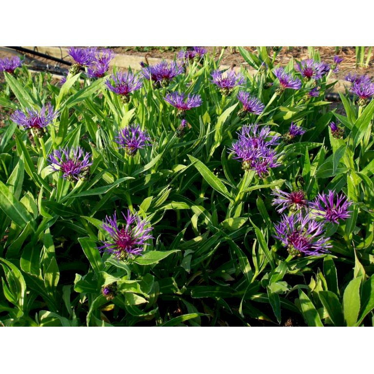 Bjerg-Knopurt 'Grandiflora'