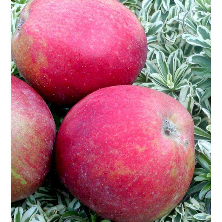 Æble 'Skovfoged'