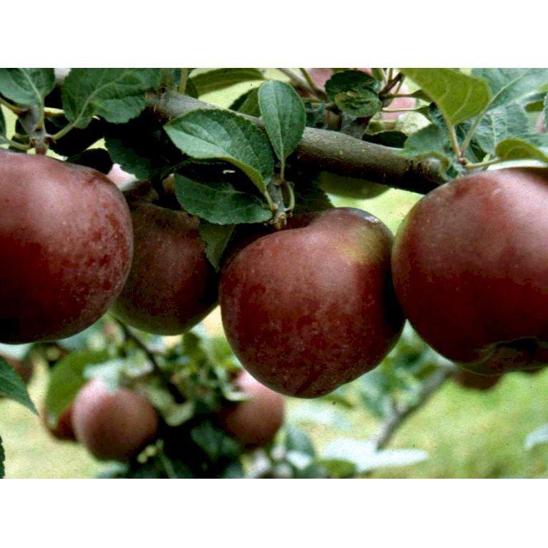 Æble 'Spartan'