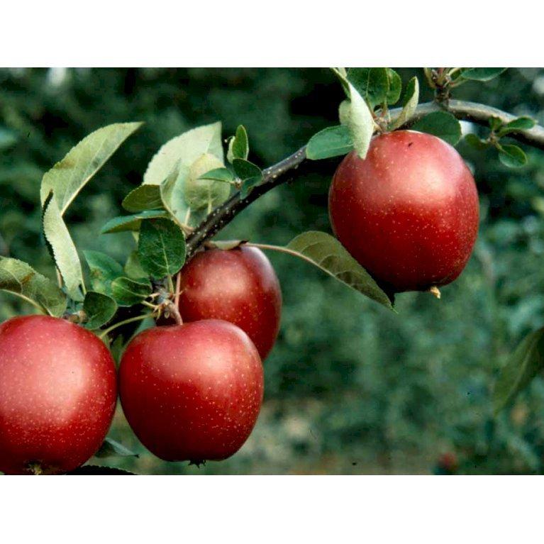 Æble 'Summerred'