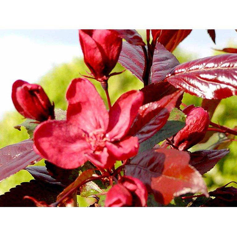 Rødbladet Paradisæble