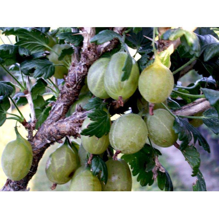 Stikkelsbær 'Gul Hinnomaki'