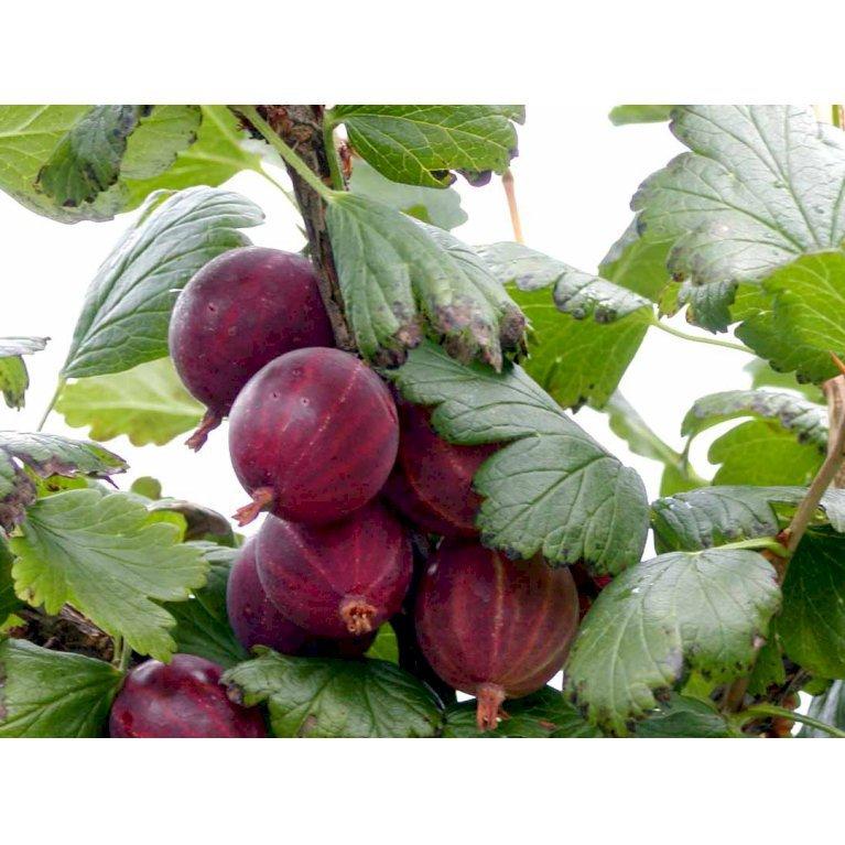 Stikkelsbær 'Rød Hinnomaki'