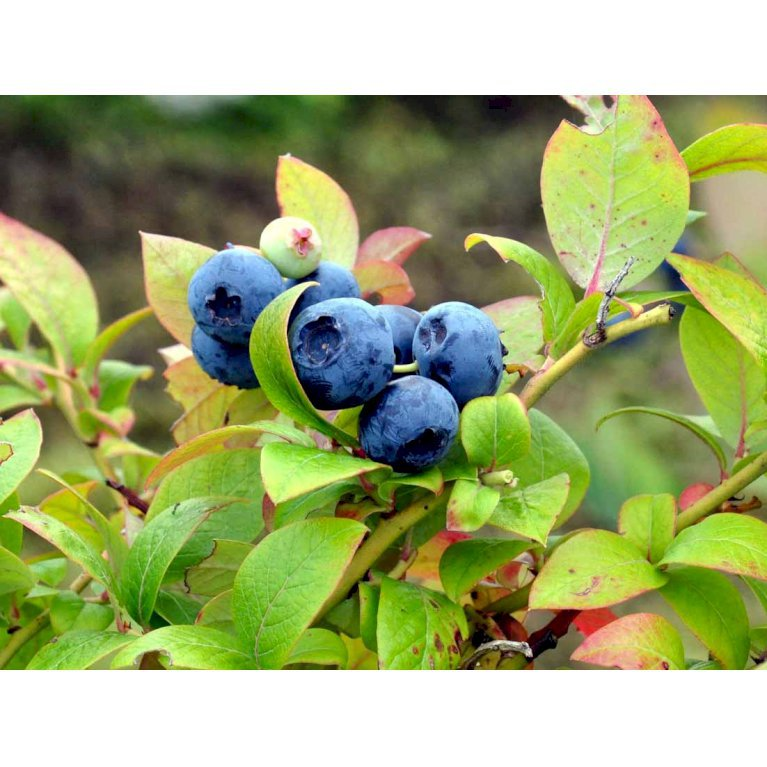 Amerikanske Blåbær 'Blue Crop'