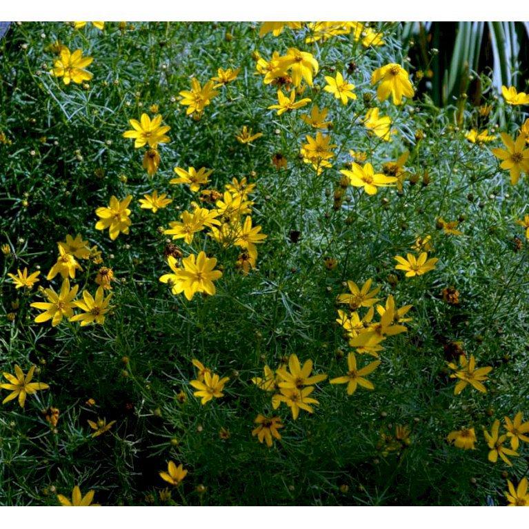 Skønhedsøje 'Grandiflora'