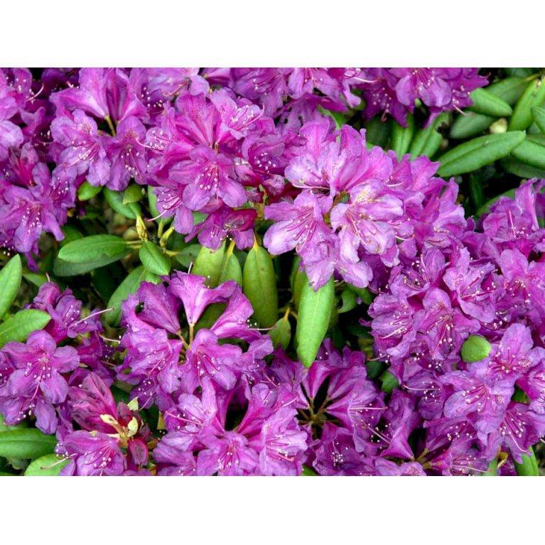Rhododendron 'Bohlken'S Lupinenberg'