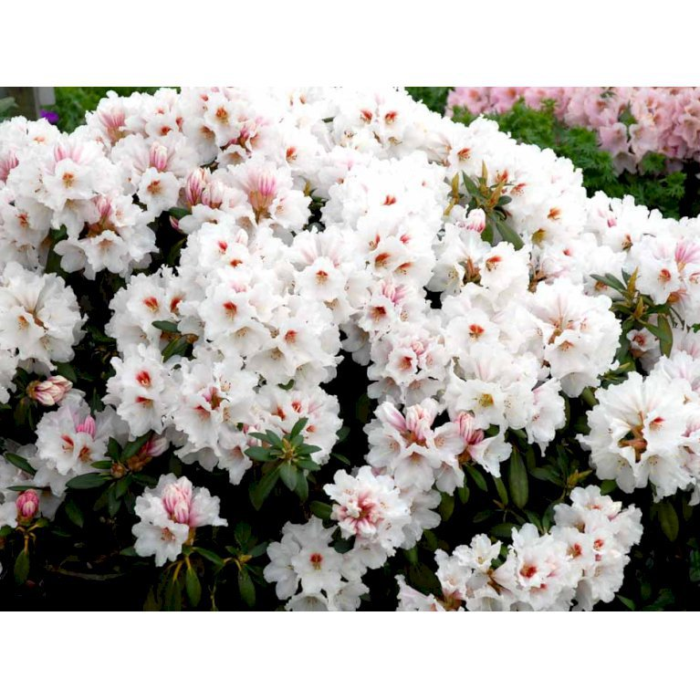 Rhododendron 'Bohlken'S Snow Fire'