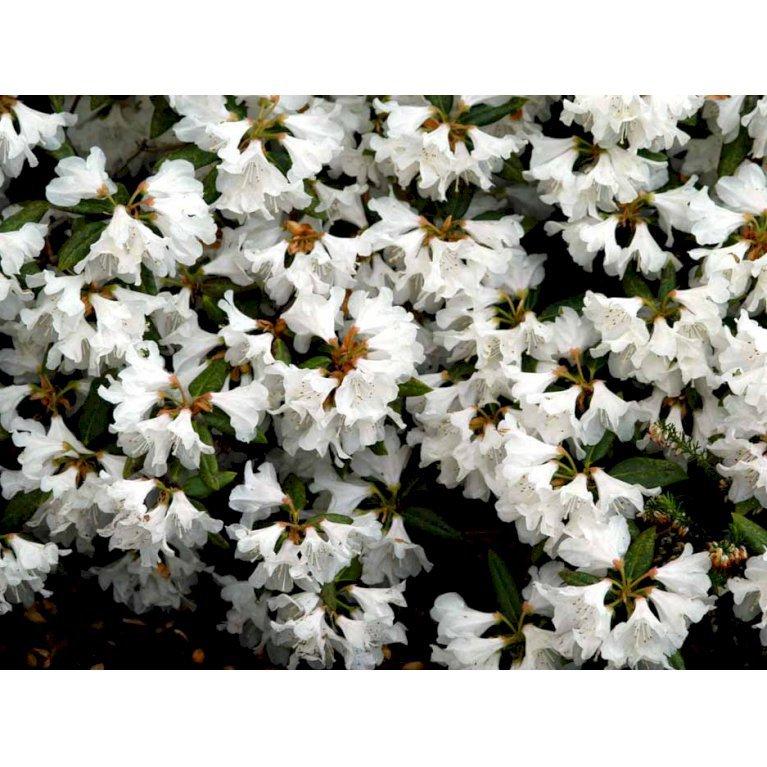 Rododendron 'Dora Amateis'
