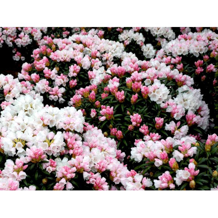 Rododendron 'Edelweiss'
