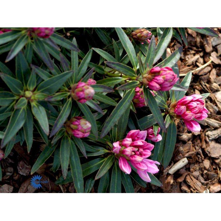 Rododendron 'Graziella'