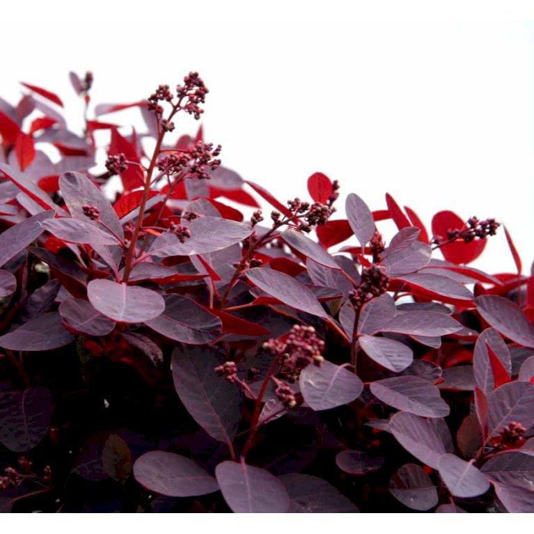 Rødbladet Parykbusk