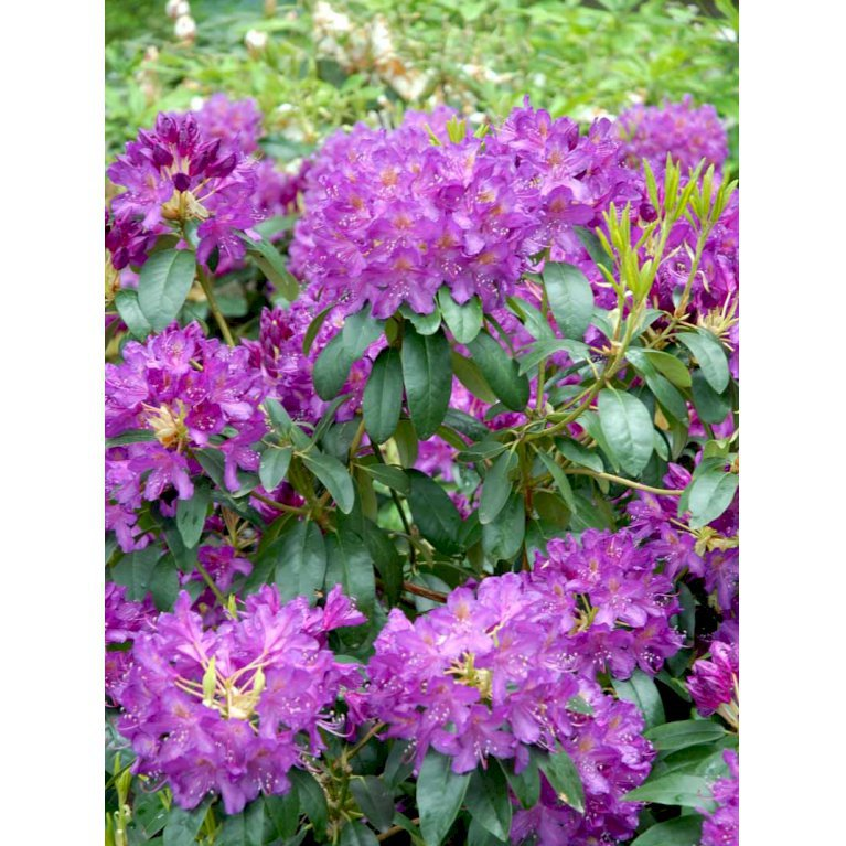 Rododendron 'Lees Dark Purple'