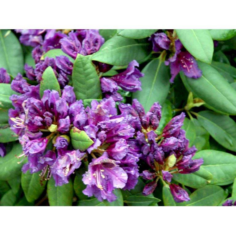 Rododendron 'Marcel Menard'
