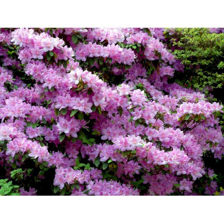 Rododendron 'Moerheim'