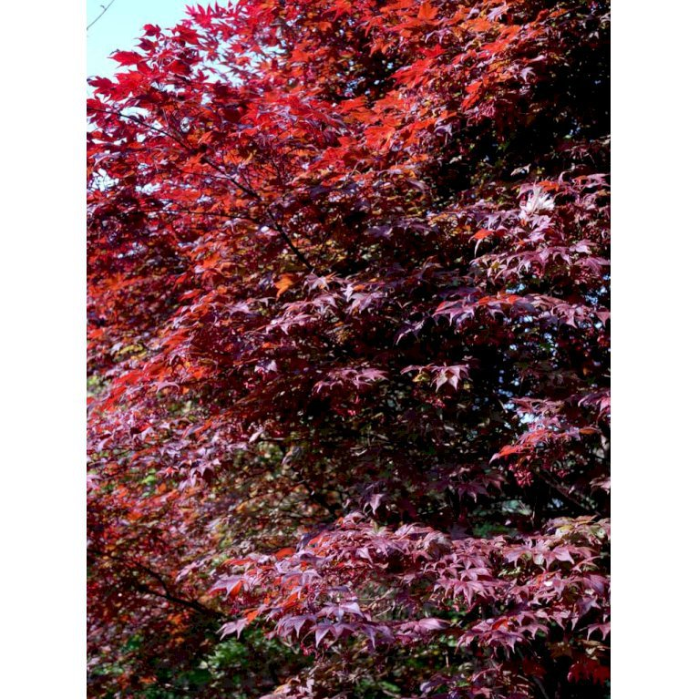 Japansk Ahorn 'Atropurpureum'