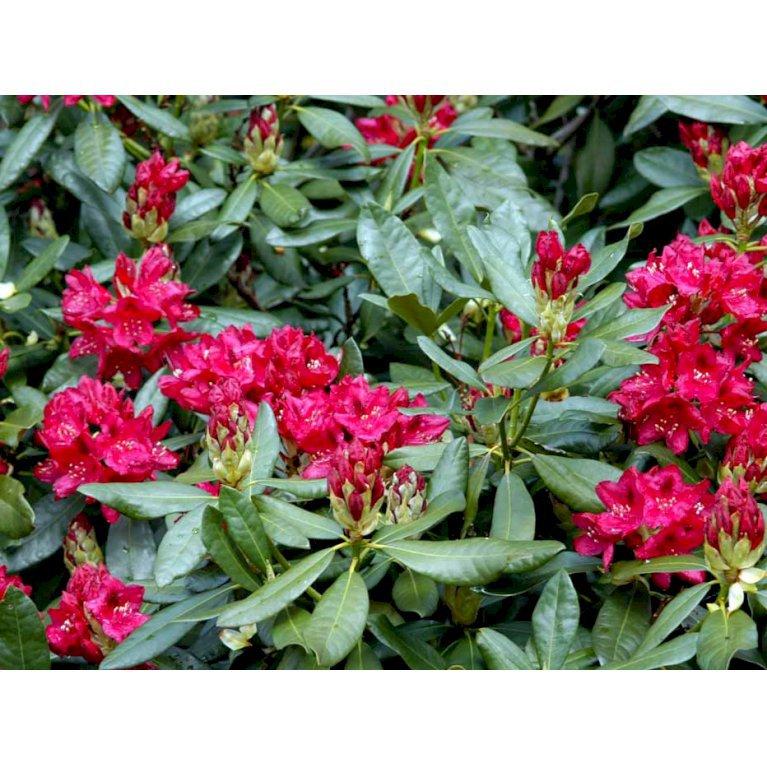 Rhododendron 'Nova Zembla'